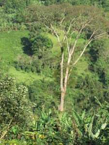 A Tree in Bwindi